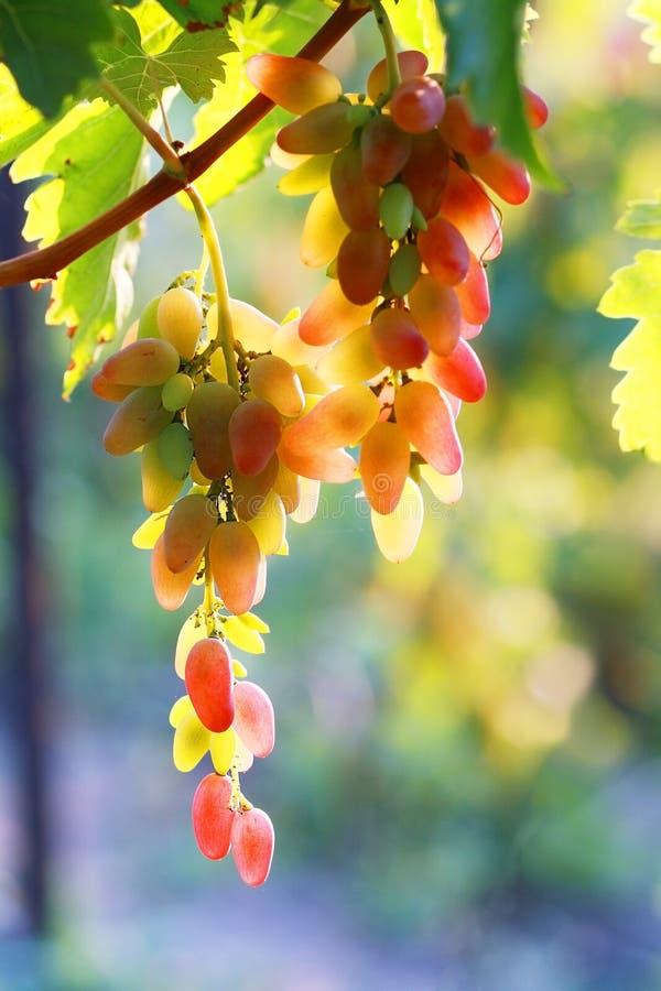 Uva roja madura foto de archivo libre de regalías