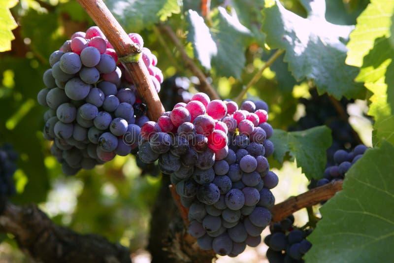 Adivina adivinanza - Página 13 Uva-roja-negra-para-la-producci%C3%B3n-de-vino-en-espa%C3%B1a-10902046