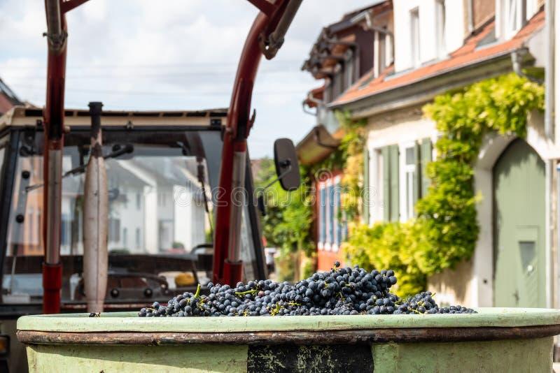 uva rossa in un raccolto del recipiente fotografia stock libera da diritti