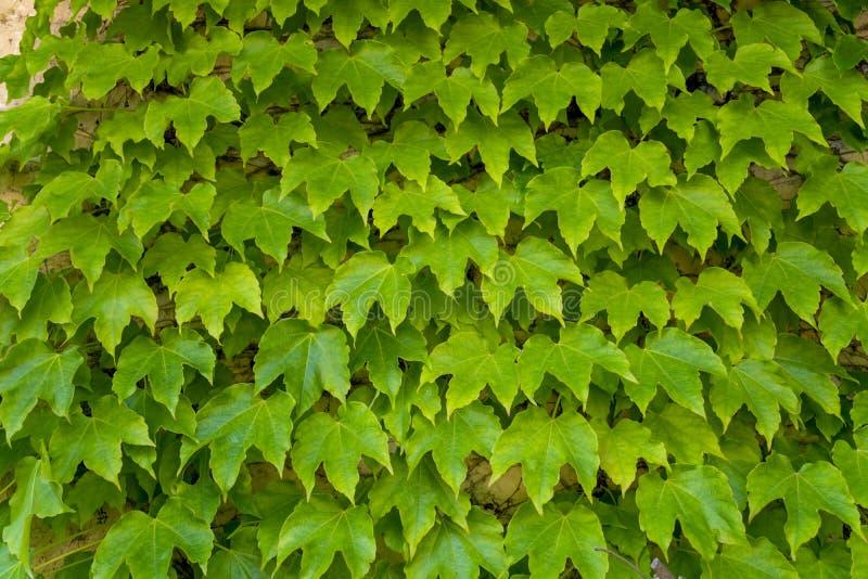 Uva salvaje verde, fondo de la naturaleza, pared verde fotografía de archivo