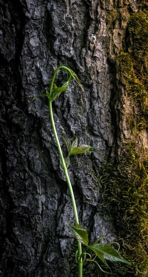 Uva selvaggia fotografia stock