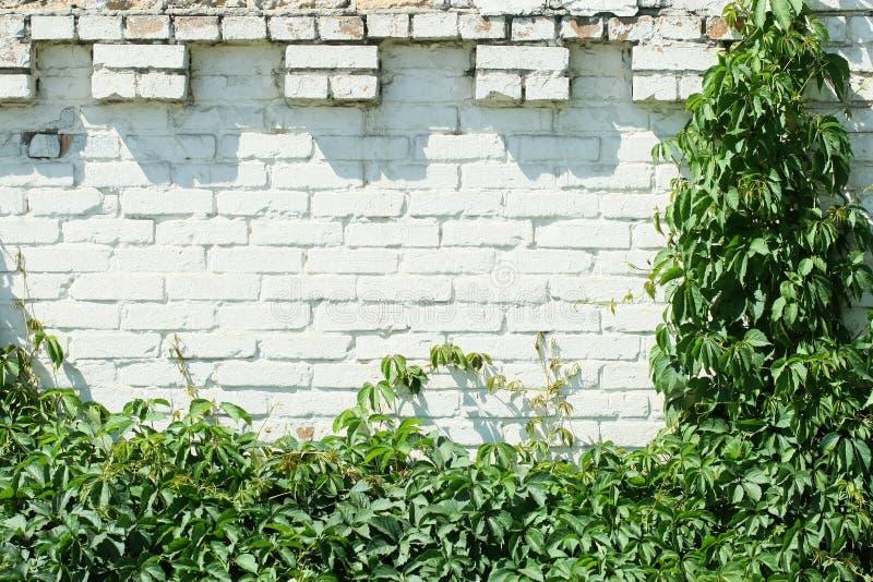Uva selvaggia su un muro di mattoni bianco immagini stock