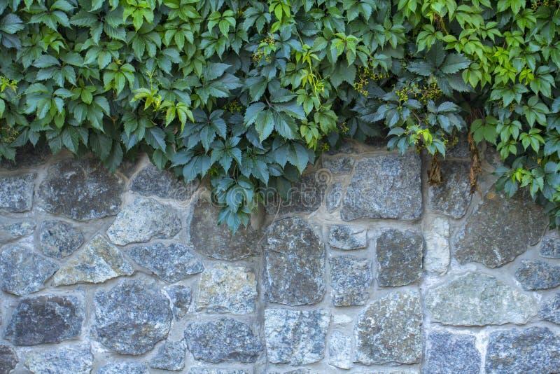 Uva selvaggia su una vecchia parete di pietra immagini stock