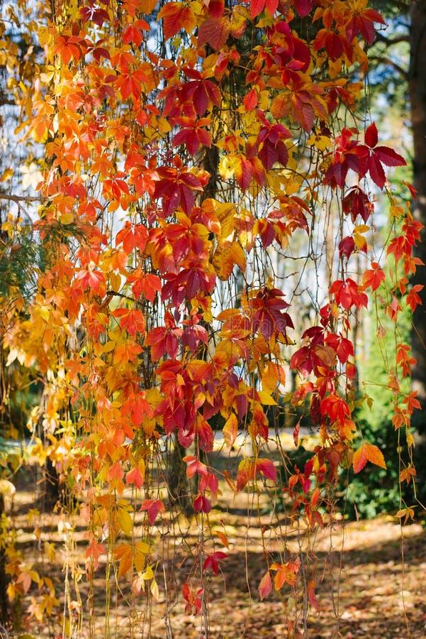 Uva selvatica: pendolo delle foglie d'autunno di arancia immagine stock libera da diritti