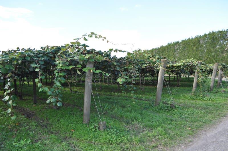 Uva spina cinese di Kiwi Fruit che cresce sulla vite immagini stock