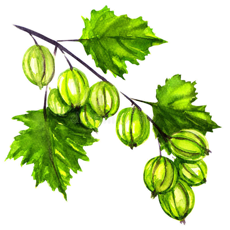 Uva spina organica fresca e matura illustrazione di stock