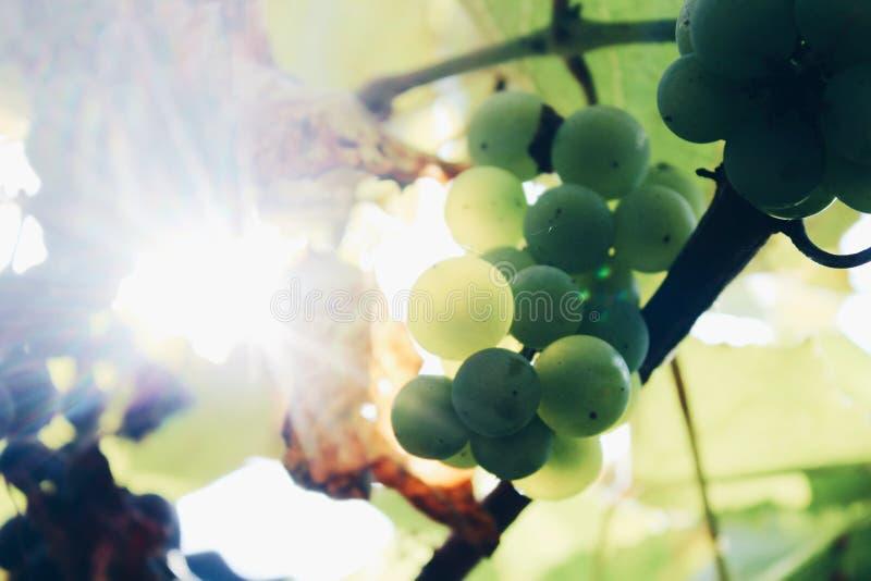 uva succosa verde Sun-infradiciata che cresce nella vigna fotografia stock