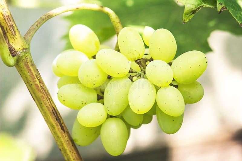 Uva verde con le foglie Immagine del primo piano del mazzo dolce e saporito maturo dell'uva bianca sulla vite Uva bianca succosa fotografie stock