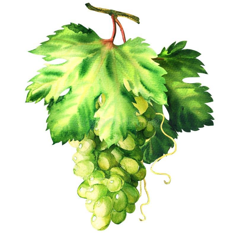Uva verde fresca con las hojas, rama madura de la vid con la hoja, cosecha del verano, aislada, ejemplo exhausto de la acuarela d imagen de archivo