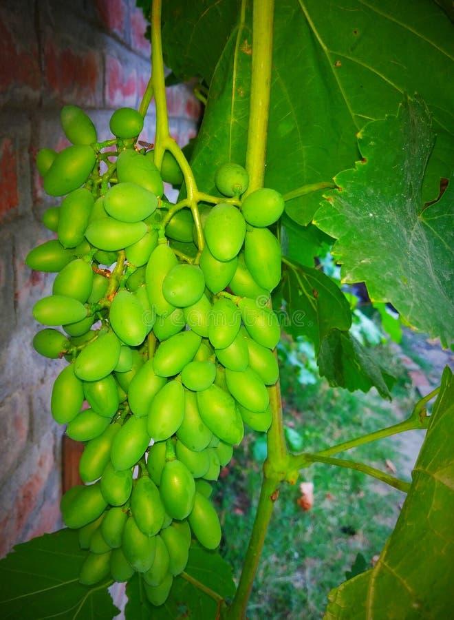 Uva verde & x28; Gresh Grapes& x29; fotografia stock