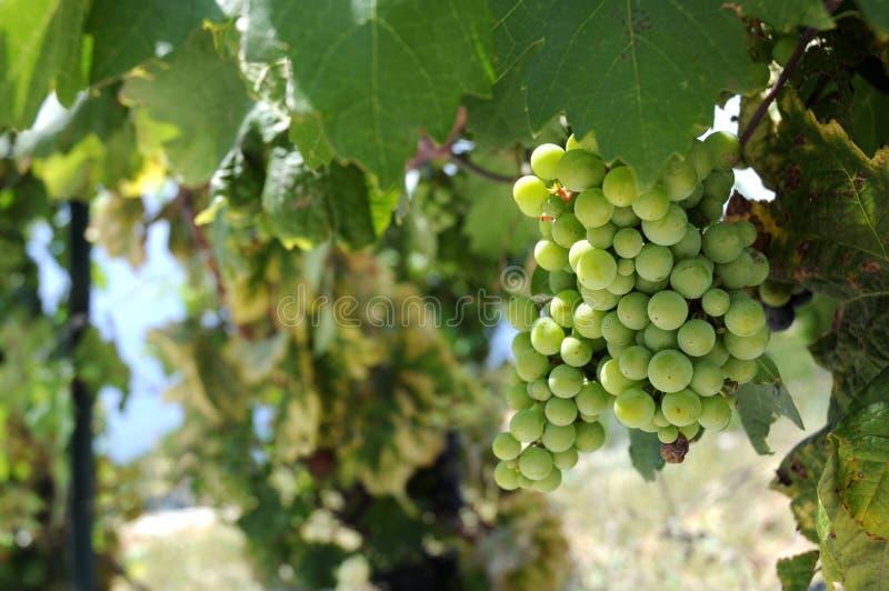 Uva verde matura in vineyeard. fotografia stock