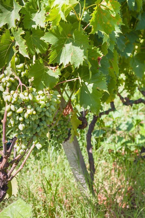 Uva verde no vinhedo em Sicília fotos de stock royalty free