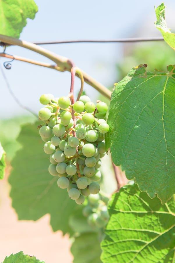 Uva verde nova na videira na adega local na vinha, Texas, U fotos de stock royalty free