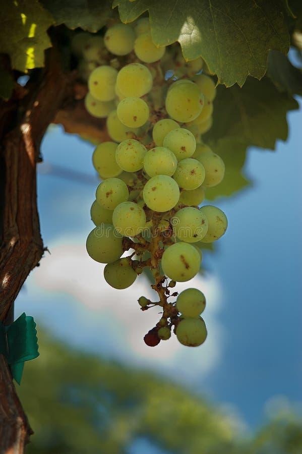 Uva verde su una vite immagine stock libera da diritti