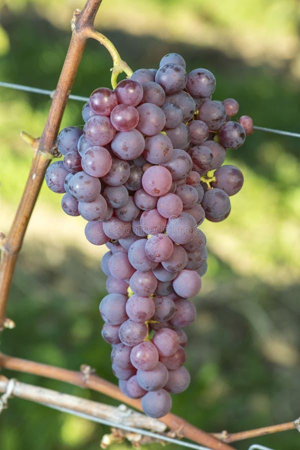 Uva vermelha madura de Chasselas no vinhedo antes da colheita fotografia de stock royalty free
