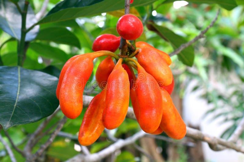 Uvaria rufa布卢姆果子水牛奶头,森林果子,水牛城牛奶红色果子在森林,草本罕见的濒于灭绝的物种里在泰国 免版税库存照片