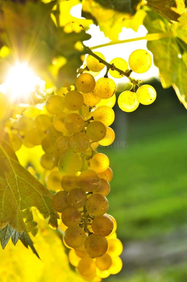 Uvas amarillas imagenes de archivo