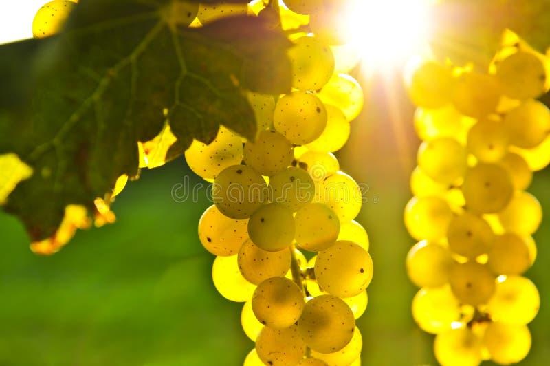 Uvas amarillas fotografía de archivo