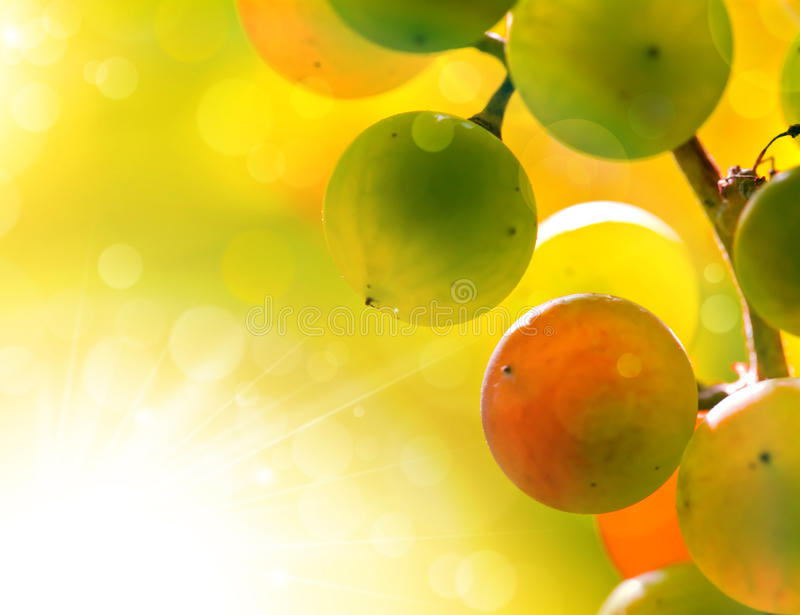 Uvas asoleadas foto de archivo libre de regalías