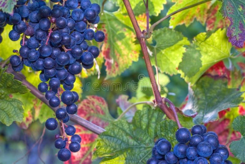 Uvas azuis na luz solar imagem de stock