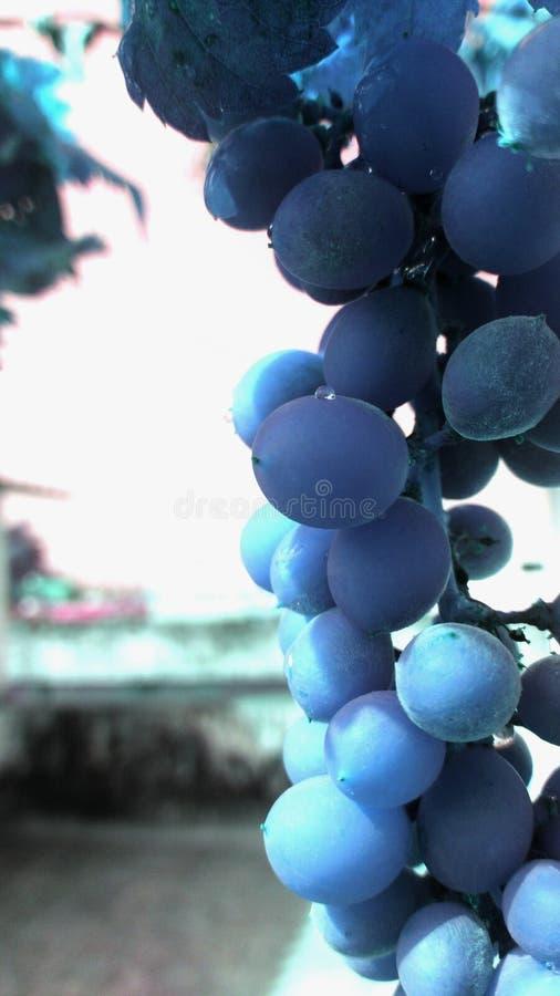 Uvas azules foto de archivo libre de regalías