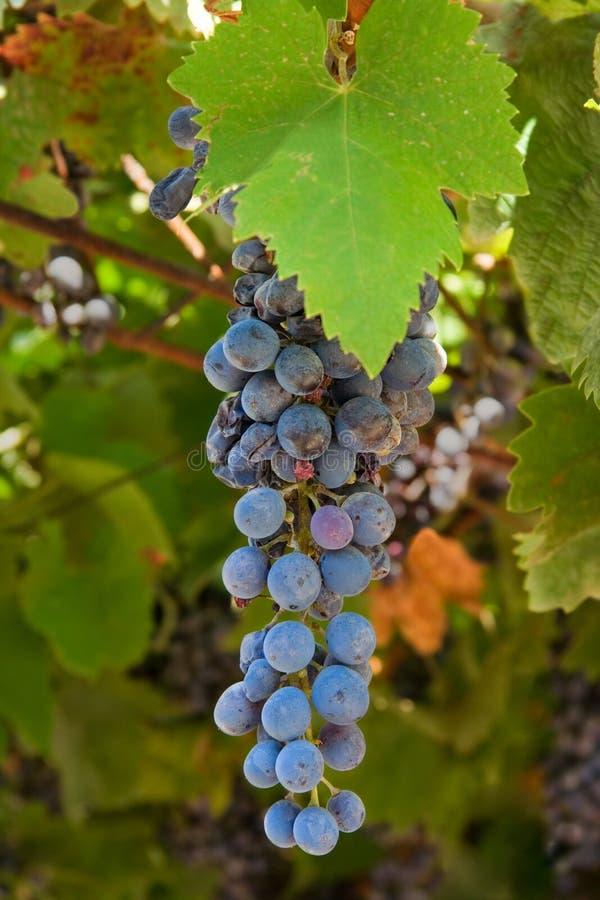 Uvas azules en un viñedo foto de archivo