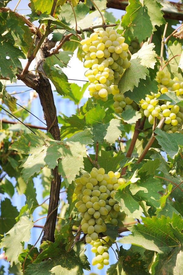 Uvas blancas. fotografía de archivo
