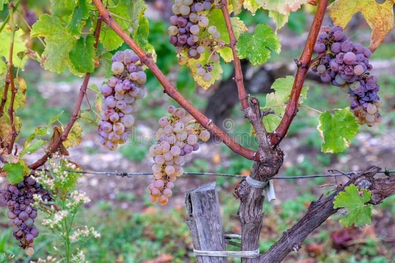 Uvas blancas de los Sauternes AOC bajo la lluvia fotos de archivo libres de regalías