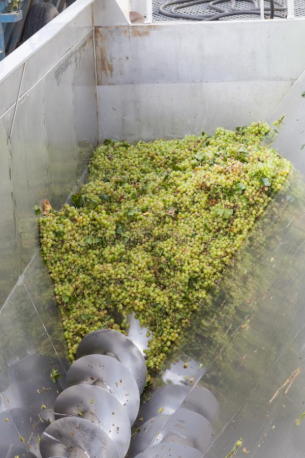 Uvas blancas del hanepoot que pasan a través de la prensa mecánica en un lagar durante la cosecha para el vino blanco en un lagar imágenes de archivo libres de regalías