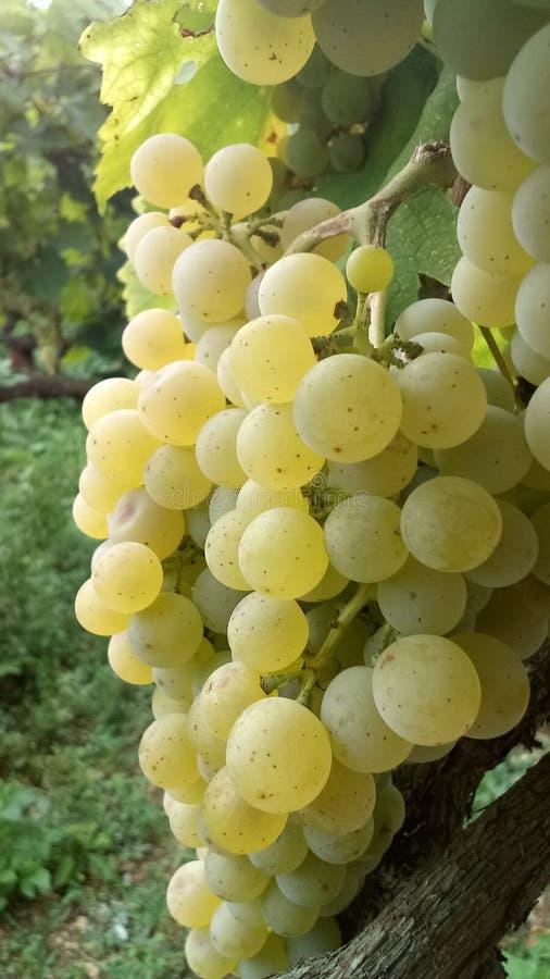 Uvas blancas en el vi?edo foto de archivo
