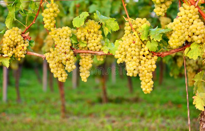 Uvas blancas en otoño imágenes de archivo libres de regalías