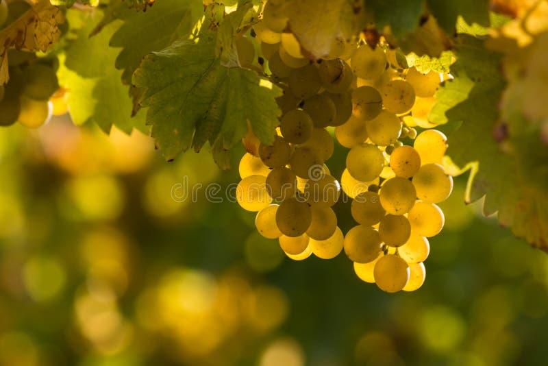 Uvas blancas en vid imagen de archivo