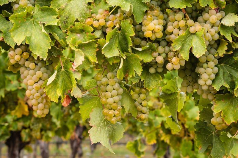 Uvas blancas maduras en vid imagen de archivo libre de regalías