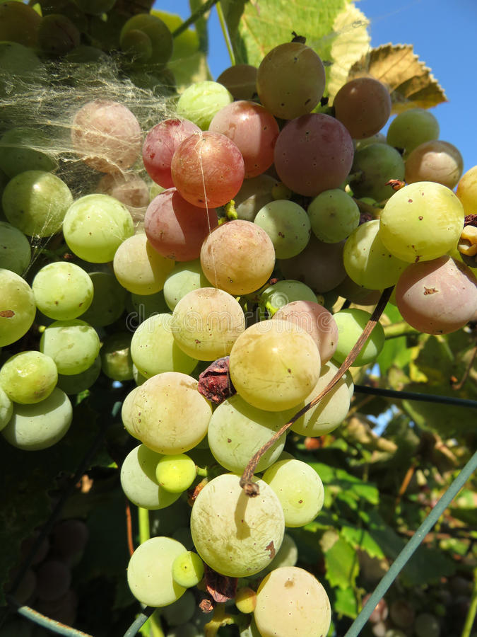 Uvas brancas do verão fotografia de stock