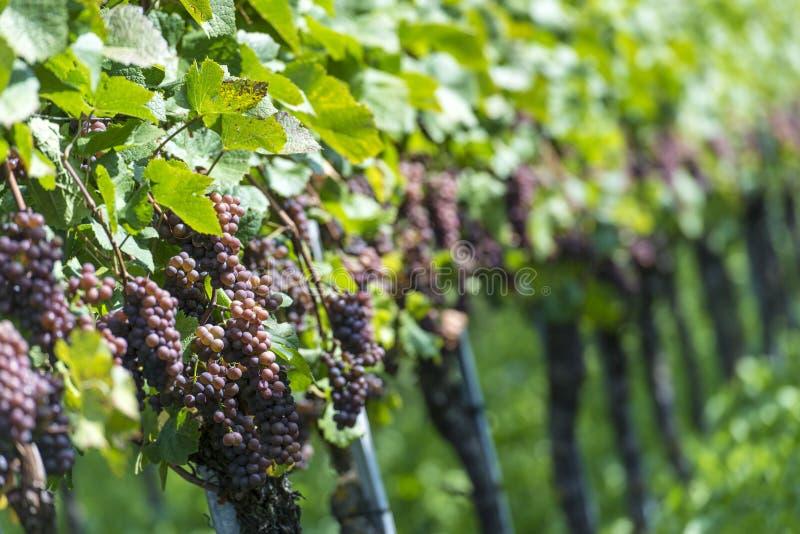 Uvas cor-de-rosa no vinhedo imagem de stock