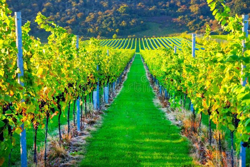 Uvas crecientes del pinot negro del viñedo inglés foto de archivo