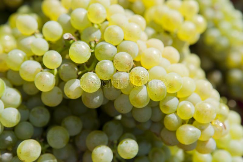 Uvas da colheita fotografia de stock royalty free