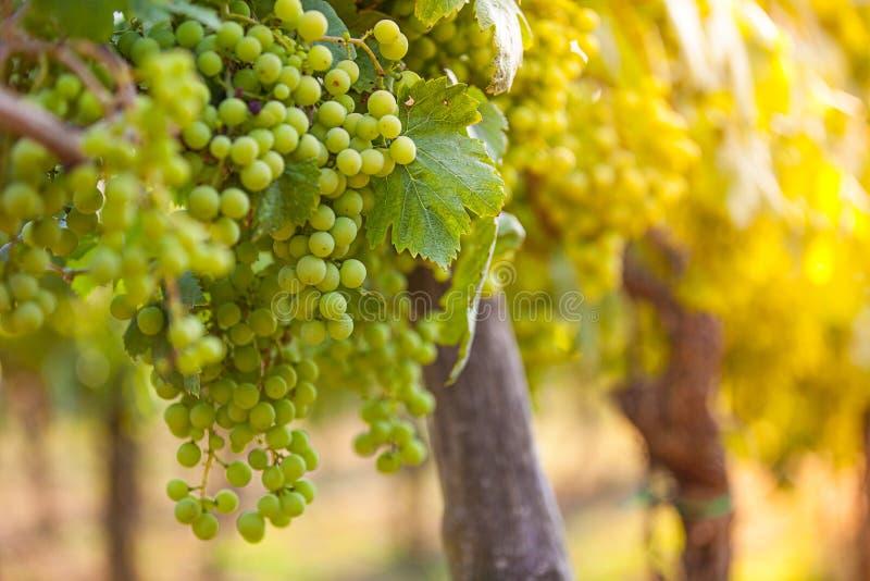 Uvas de blancos y x28; Pinot blanco y x29; en el viñedo durante salida del sol imagen de archivo