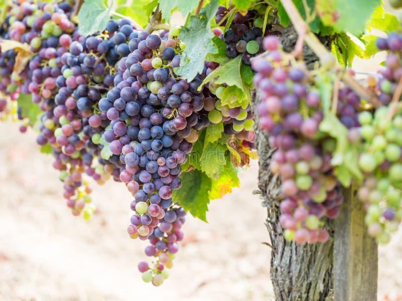 Uvas de cabernet - de sauvignon em um vinhedo no Bordéus fotografia de stock royalty free