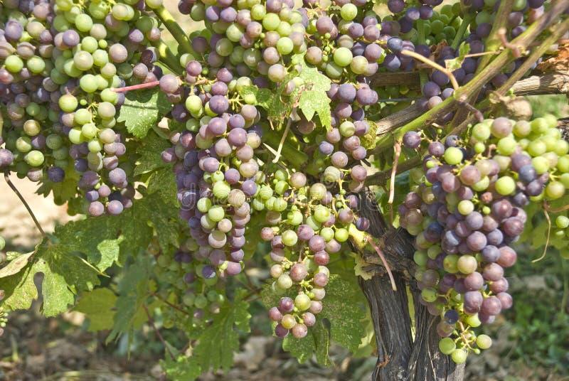 Uvas de cabernet - de sauvignon que penduram na videira foto de stock royalty free
