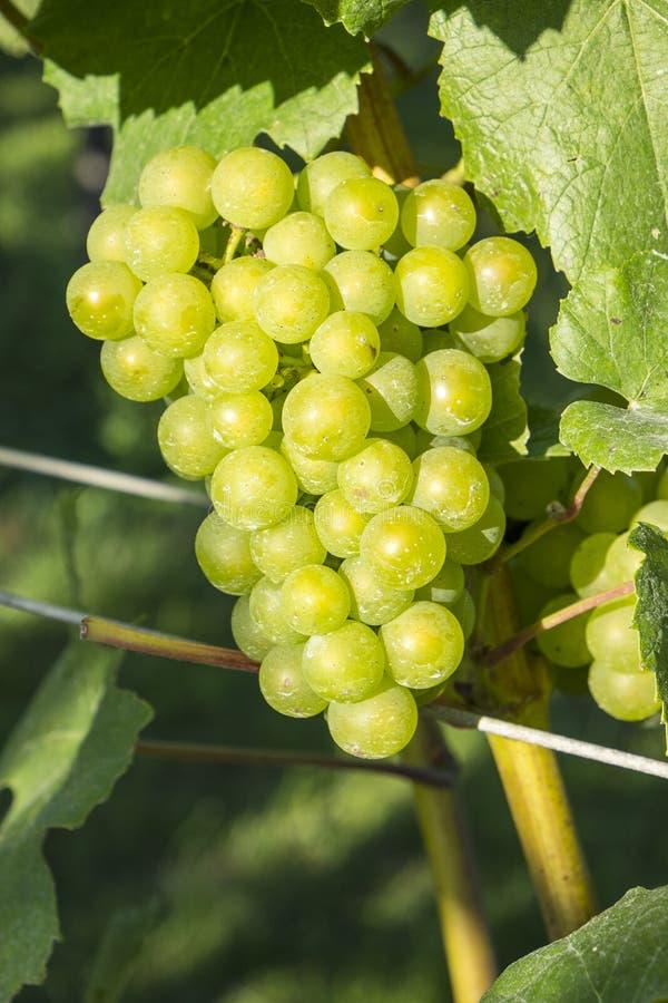 Uvas de Chardonnay en un viñedo #3 fotografía de archivo libre de regalías