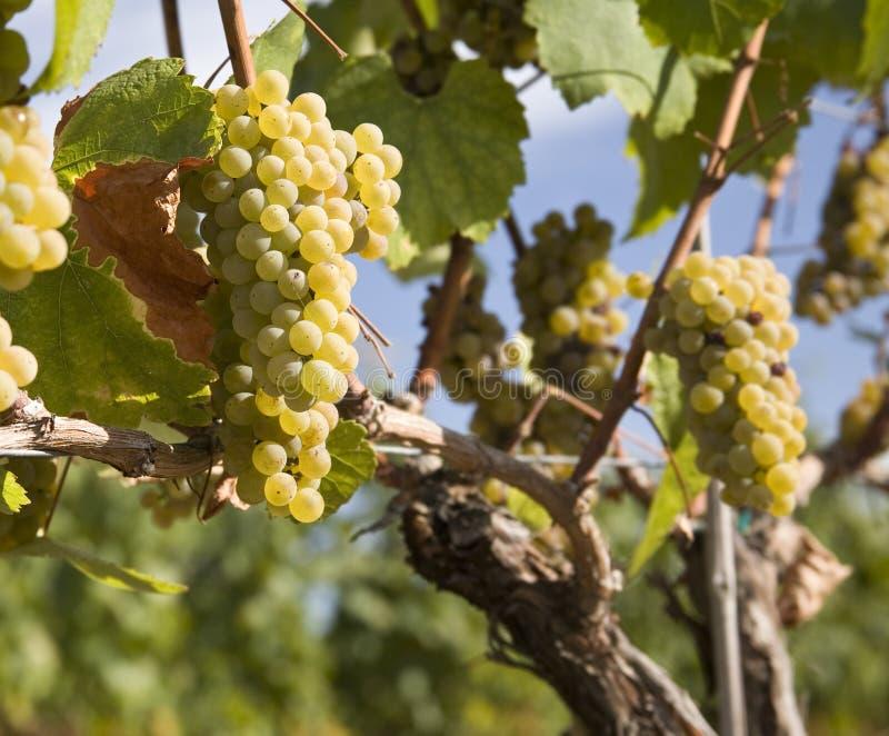Uvas de Chardonnay en viñedo imágenes de archivo libres de regalías