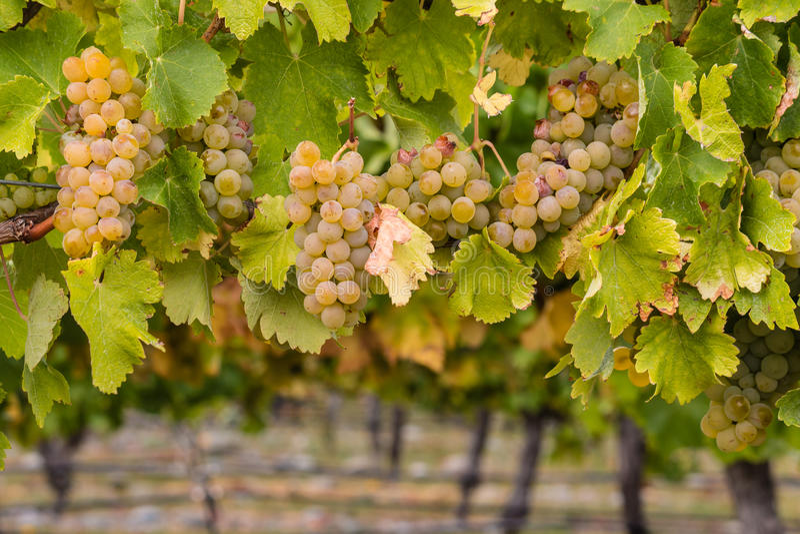 Uvas de Chardonnay maduras en viñedo fotos de archivo