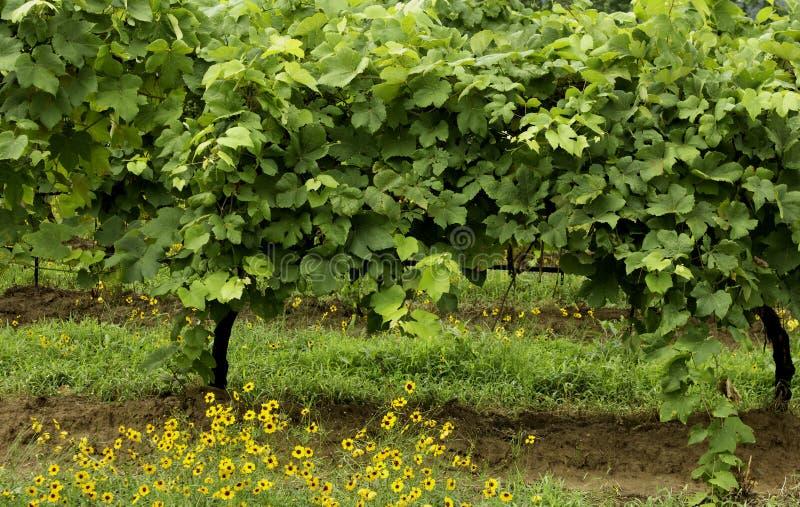 Uvas de Chardonnay que crecen en vides en un viñedo con las amapolas amarillas en primero plano imagenes de archivo