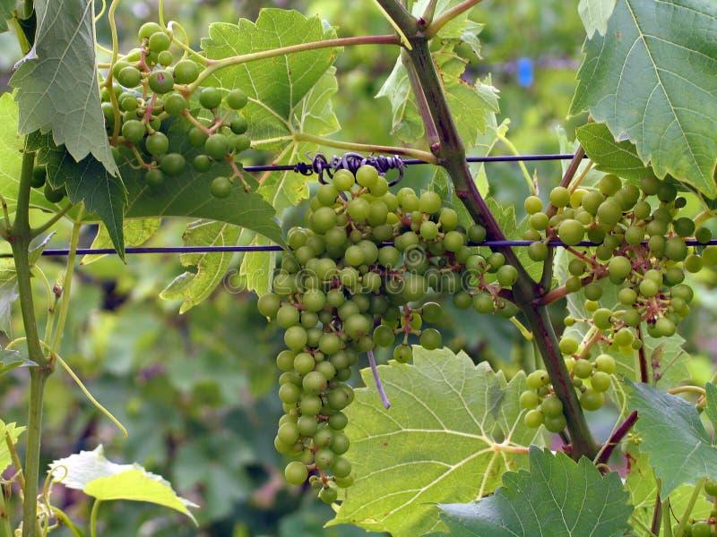 Uvas de L'Acadie Blanc foto de stock royalty free