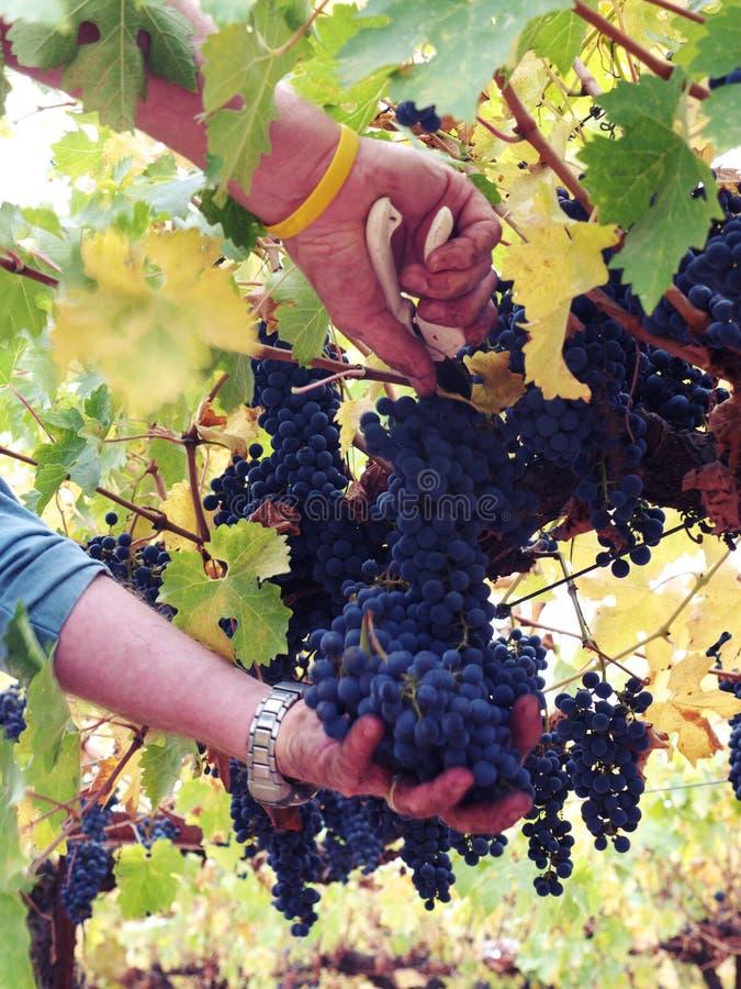 Uvas de la cosecha para el vino foto de archivo libre de regalías
