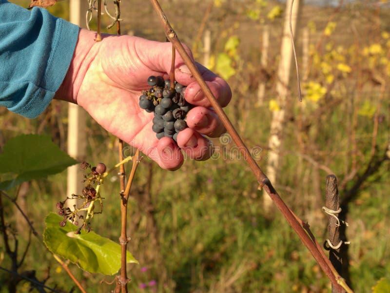 Uvas de la vid del control del cultivador del vino después de la primera helada en viñedo Estación del otoño de la fabricación de foto de archivo libre de regalías