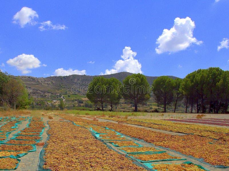 Uvas de Muscat no Sun imagem de stock