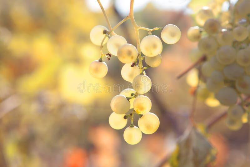Uvas de oro dulces imagenes de archivo