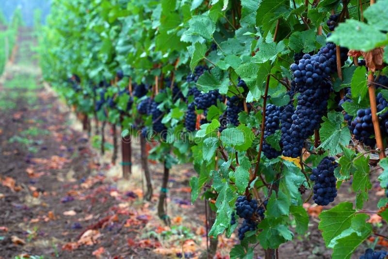 Uvas de Pinot Noir imagens de stock
